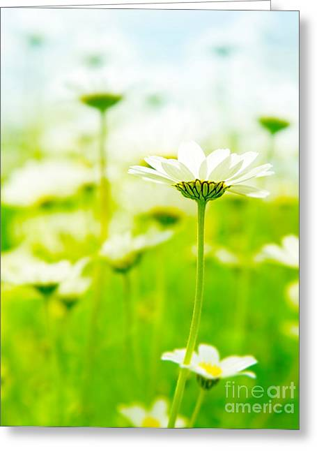 Close Focus Floral Greeting Cards - Spring field of daisies Greeting Card by Anna Omelchenko