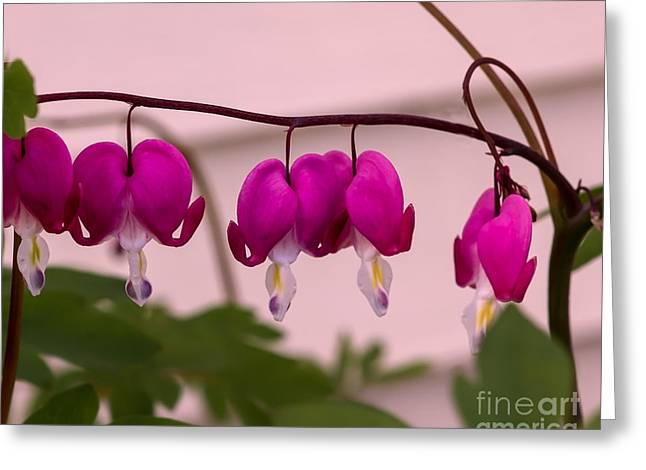 Dicentra Spectabilis Greeting Cards - Spring Heart Greeting Card by Robert Bales
