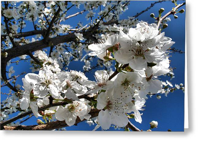 Fruit Tree Art Giclee Greeting Cards - Spring Pear Blossoms 2012 Greeting Card by Joyce Dickens