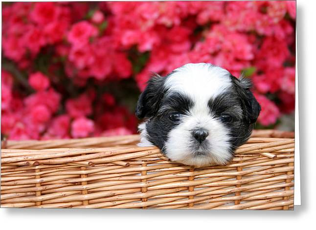 Shih-tzu Greeting Cards - Spring Puppy  Greeting Card by Darren Fisher