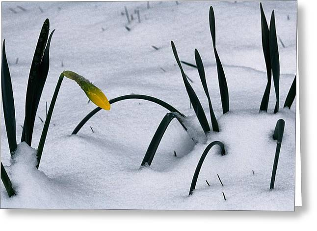 Spring Snow Coats The Daffodils Greeting Card by George F. Mobley