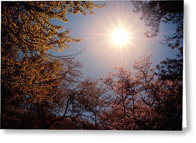 Spring Sunlight over Cherry Blossoms  Greeting Card by Vivienne Gucwa