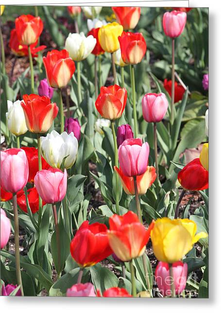Colors Glass Art Greeting Cards - Spring Tulips 3 Greeting Card by Robert Pearson