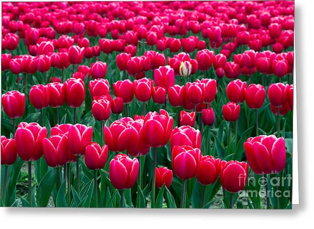 Spring Tulips Greeting Card by David R Frazier and Photo Researchers