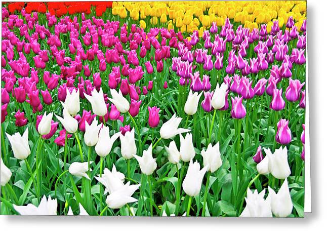 Flora Images Greeting Cards - Spring Tulips Flower Field II Greeting Card by Artecco Fine Art Photography