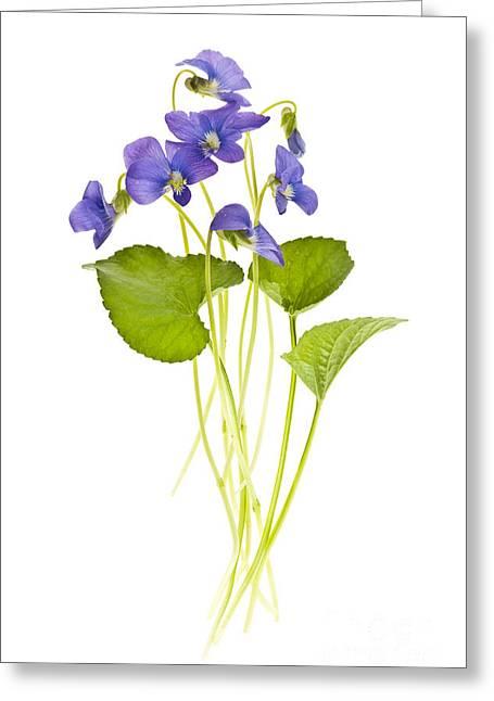 Floral Arrangement Greeting Cards - Spring violets on white Greeting Card by Elena Elisseeva
