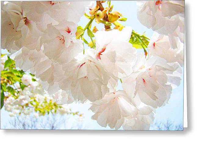 Spring White Pink Tree Flower Blossoms Greeting Card by Baslee Troutman