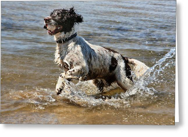 Dog Playing Ball Greeting Cards - Springer Spaniel Greeting Card by Julie L Hoddinott