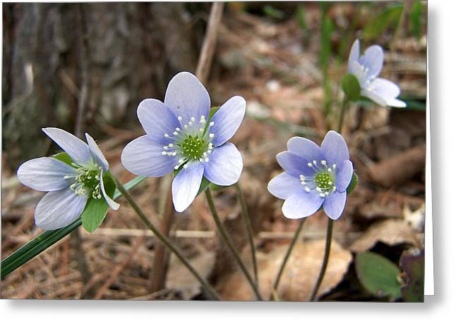 Wisconsin Wildflowers Greeting Cards - Springs First Greeting Card by Bill Pevlor