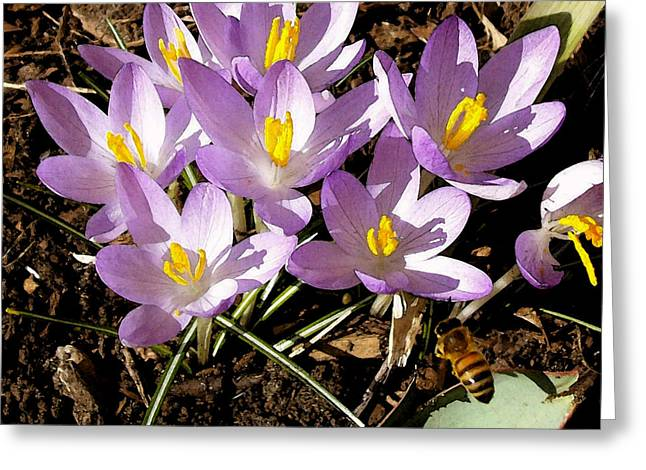 Spring Bulbs Digital Art Greeting Cards - Springtime Crocuses  Greeting Card by Michelle Calkins
