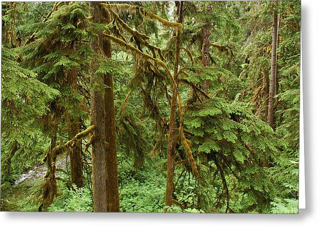 Epiphyte Greeting Cards - Spruce Trees With Moss Greeting Card by Darlyne A. Murawski