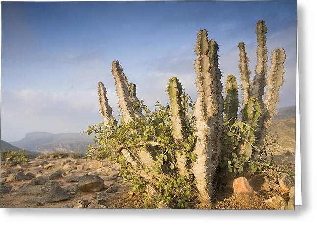 Euphorbiaceae Greeting Cards - Spurge Cactus On Plateau Hawf Protected Greeting Card by Sebastian Kennerknecht