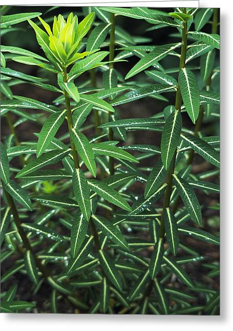 Euphorbia Greeting Cards - Spurge (euphorbia Cornigera) Greeting Card by Archie Young