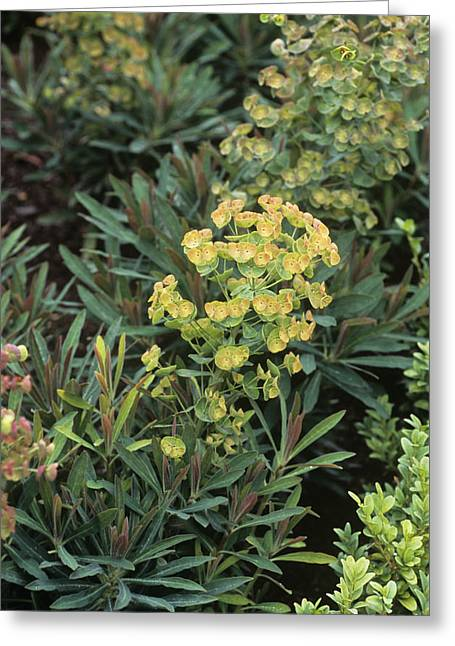 Euphorbia Greeting Cards - Spurge (euphorbia X Martinii) Greeting Card by Adrian Thomas