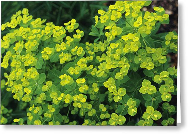Spurge Greeting Cards - Spurge Flowers Greeting Card by Duncan Smith