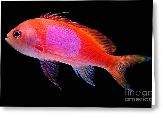 Reef Fish Greeting Cards - Square Pink Anthias Greeting Card by Danté Fenolio