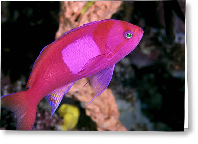 Sipadan Greeting Cards - Square Spot Fairy Basslet Greeting Card by Ed Robinson - Printscapes