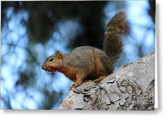 Scavenge Greeting Cards - Squirrel After Dinner Greeting Card by Mariola Bitner