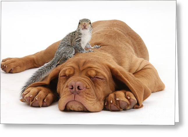 Sciurus Carolinensis Greeting Cards - Squirrel And Puppy Greeting Card by Mark Taylor