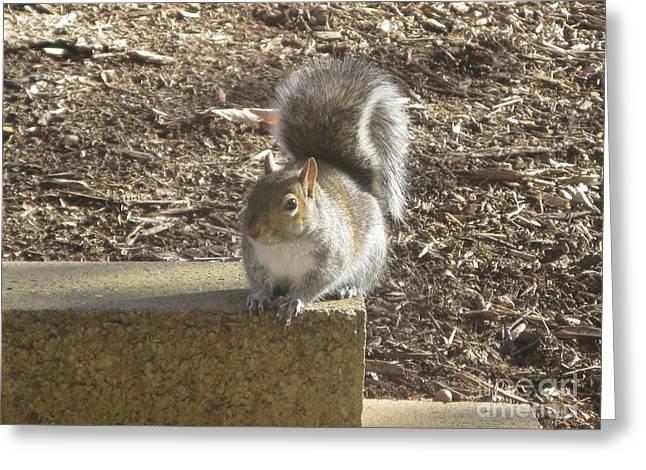 Virginia Postcards Greeting Cards - Squirrel Greeting Card by Ausra Paulauskaite