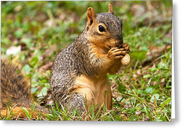 Fox Squirrel Greeting Cards - Squirrel Eating A Peanut Greeting Card by James Marvin Phelps