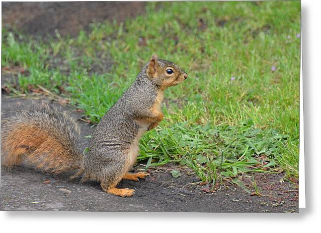 Fox Squirrel Greeting Cards - Squirrel Greeting Card by Linda Larson