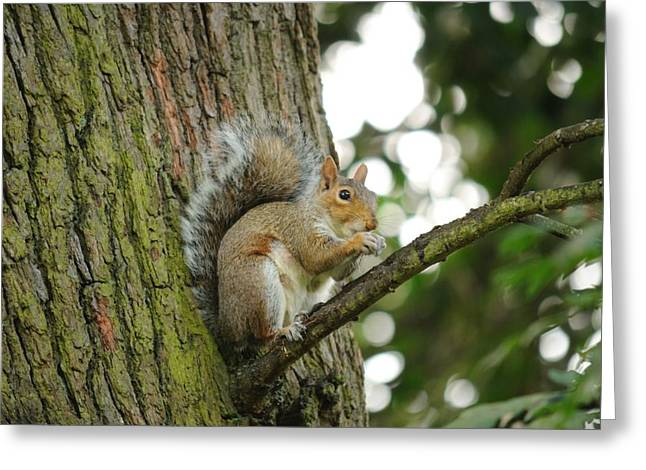 Sciurus Carolinensis Greeting Cards - Squirrel Greeting Card by Paolo Marini