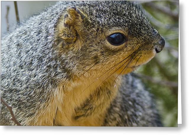 Wild Orchards Greeting Cards - Squirrel sees something scary Greeting Card by LeeAnn McLaneGoetz McLaneGoetzStudioLLCcom