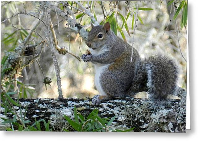 Sciurus Carolinensis Greeting Cards - Squirrel Sitting and Eating Greeting Card by Grace Dillon