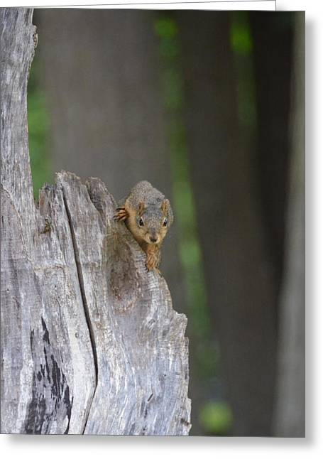 Fox Squirrel Greeting Cards - Squirrel stare Greeting Card by Linda Larson