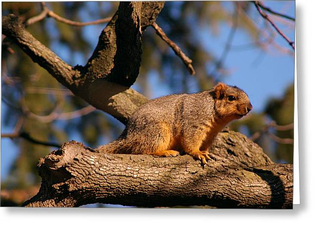 Squirrel Greeting Cards - Squirrel up high Greeting Card by LeeAnn McLaneGoetz McLaneGoetzStudioLLCcom