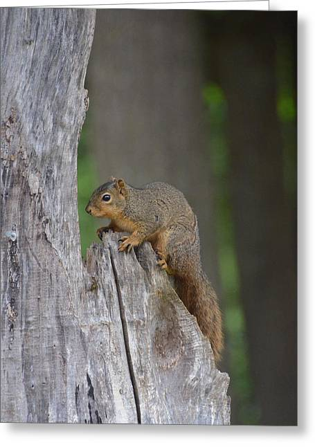 Fox Squirrel Greeting Cards - Squirrels home Greeting Card by Linda Larson