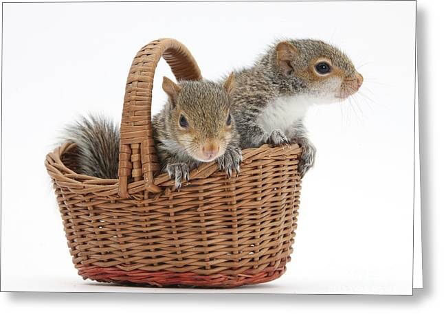 Sciurus Carolinensis Greeting Cards - Squirrels In A Basket Greeting Card by Mark Taylor