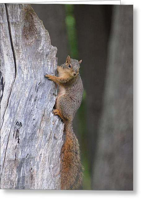 Fox Squirrel Greeting Cards - Squirrels Tree Greeting Card by Linda Larson