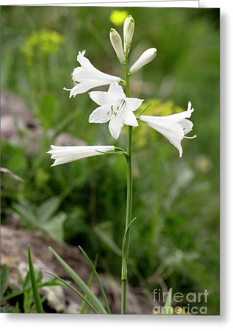 S Lily Greeting Cards - St. Brunos Lily (paradisea Liliastrum) Greeting Card by Bob Gibbons