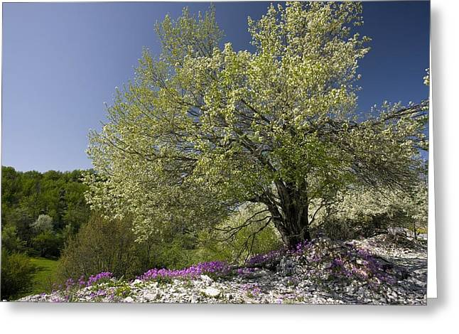 St Lucie Cherry Tree (prunus Mahaleb) Greeting Card by Bob Gibbons