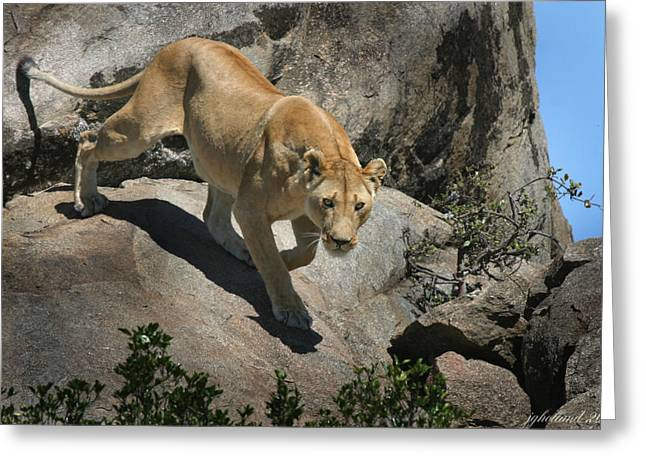 Serengeti Lioness Greeting Cards - Stalking Humans Greeting Card by Joseph G Holland