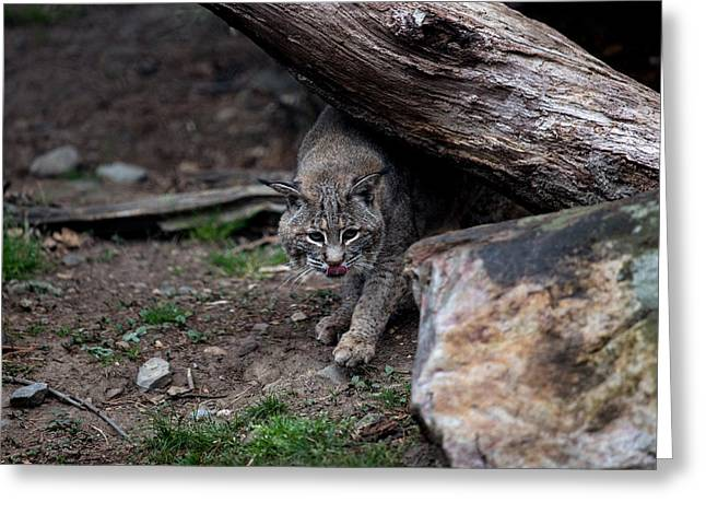 Bobcats Photographs Greeting Cards - Stalking Greeting Card by John Dryzga