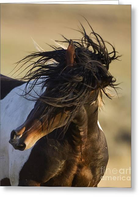 Wild Horse Greeting Cards - Stallions Head Shake Greeting Card by Carol Walker