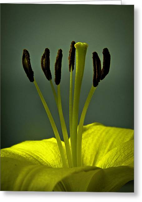 Stamen Pyrography Greeting Cards - Stamens and pistil of lily Greeting Card by Bob Mulligan