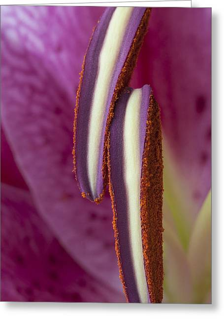 Stamen Greeting Cards - Stamens on a Stargazer Lily Greeting Card by Zoe Ferrie