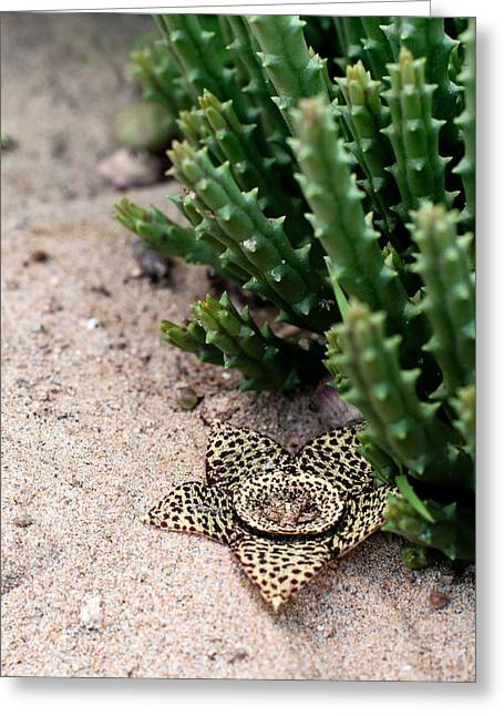Stapelia Variegata Greeting Card by Laura Melis