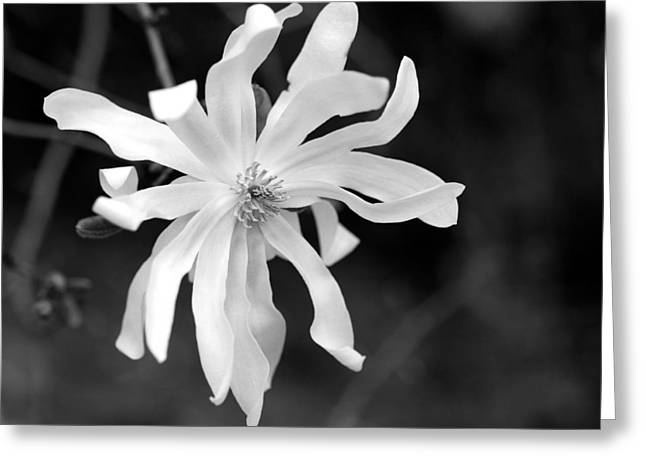 Recently Sold -  - Botany Greeting Cards - Star Magnolia Greeting Card by Lisa  Phillips