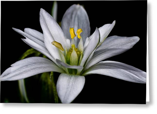 Star Of Bethlehem Greeting Card by Lori Coleman