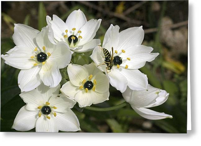 Star Of Bethlehem Greeting Cards - Star Of Bethlehem (ornithogalum Arabicum) Greeting Card by Bob Gibbons