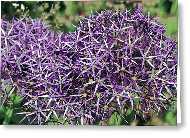 Dewdrops Greeting Cards - Star Of Persia (allium Cristophii) Greeting Card by Colin Varndell