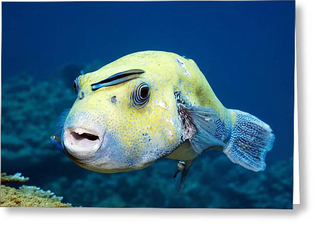 Pufferfish Greeting Cards - Star Pufferfish And Cleaner Wrasse Greeting Card by Georgette Douwma