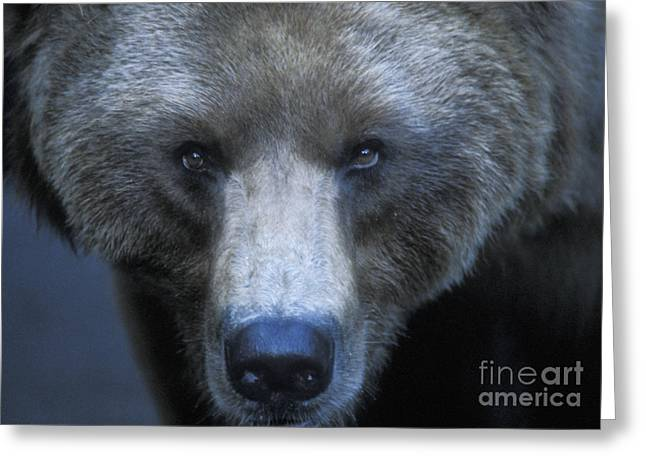 Yellowstone National Park Greeting Cards - Stare Down Greeting Card by Sandra Bronstein