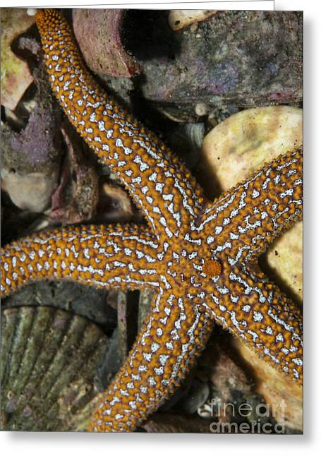 Shell Pattern Greeting Cards - Starfish Lying On Sea Floor Amid Shells Greeting Card by Karen Doody