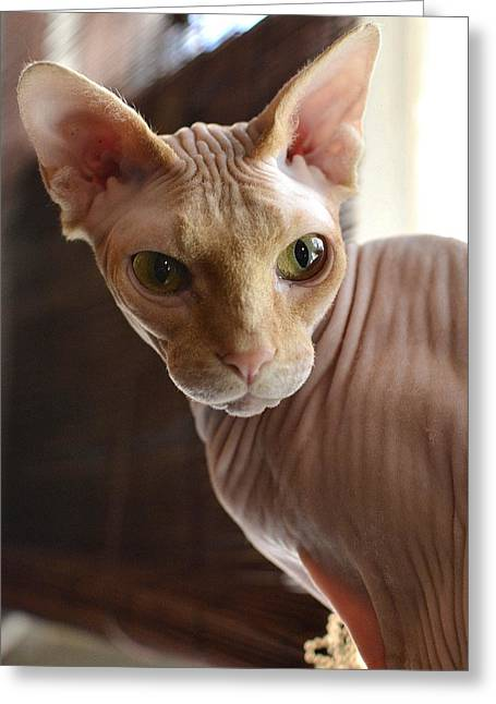 Sphynx Cat Greeting Cards - Staring Sphynx Greeting Card by Fraida Gutovich